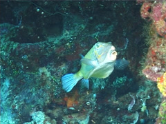 Yellow boxfish swimming, Ostracion cubicus, UP6769 Stock Footage