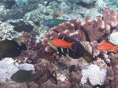 Barred thicklip swimming, Hemigymnus fasciatus, UP6776 Stock Footage