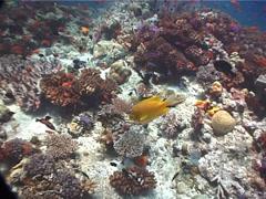 Golden damsel swimming on shallow coral reef, Amblyglyphidodon aureus, UP6798 Stock Footage