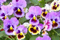 blue and yellow pansy (viola) - stock photo