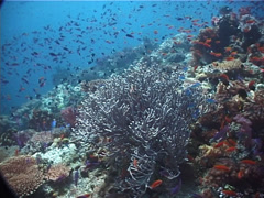Coral cod swimming on shallow coral reef, Cephalopholis miniata, UP6804 Stock Footage