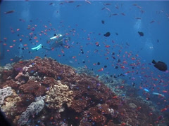 Group of scuba divers swimming on shallow coral reef with Scalefin anthias in Stock Footage