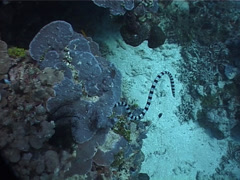 Banded sea krait hunting on shallow coral reef, Laticauda colubrina, UP6860 Stock Footage