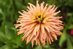 Pastel zinnia flower Stock Photos