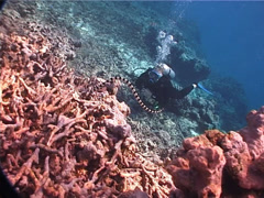 Banded sea krait hunting on pink coralline algae glued rubble, Laticauda Stock Footage