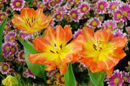Colorful tulip blossom Stock Photos