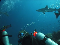 Group of scuba divers swimming in fish feeding arena with Grey reef shark in Stock Footage