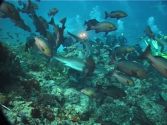 Large circle of divers watching taking images in fish feeding arena with Grey Stock Footage