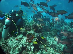Large circle of divers watching taking images in fish feeding arena with Golden Stock Footage