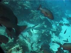 Grey reef shark swimming on deep coral reef, Carcharhinus amblyrhynchos, UP6902 Stock Footage