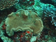Adhesive anemone on deep coral reef, Cryptodendrum adhaesivum, UP6910 Stock Footage