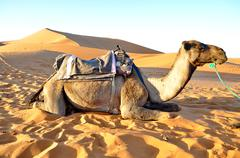 camel rest in the sand - stock photo