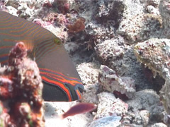 Male adult Orange-lined triggerfish feeding, Balistapus undulatus, UP6913 Stock Footage