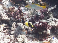 Moorish idol feeding, Zanclus cornutus, UP6914 Stock Footage