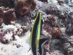 Moorish idol swimming, Zanclus cornutus, UP6915 Stock Footage