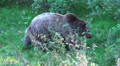 Brownbear in grassy forest landscape HD Footage