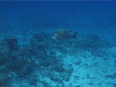 Fish | Emperors | Big Eye Bream | Deep Coral Reef | Zoom In Shot Stock Footage