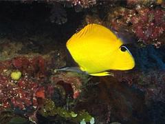 Forcepsfish swimming, Forcipiger flavissimus, UP6965 Stock Footage