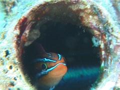 Bluestriped fangblenny nodding, Plagiotremus rhinorhynchos, UP6969 Stock Footage