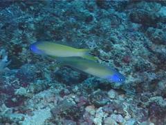 Bluehead tilefish hovering, Hoplolatilus starcki, UP6979 Stock Footage