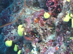 Longnose hawkfish courting, Oxycirrhites typus, UP6982 Stock Footage