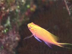 Hawk anthias swimming, Serranocirrhitus latus, UP6985 Stock Footage