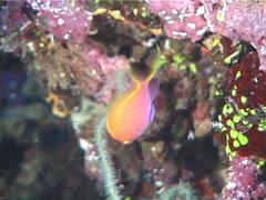 Hawk anthias swimming, Serranocirrhitus latus, UP6987 Stock Footage
