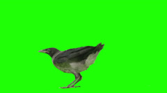 Crow lands and looks around on green screen. Stock Footage