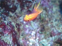 Hawk anthias swimming, Serranocirrhitus latus, UP6988 Stock Footage