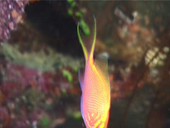 Hawk anthias swimming, Serranocirrhitus latus, UP6989 Stock Footage
