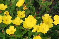 Evening primrose (oenothera) Stock Photos