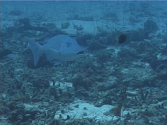 Fish | Wrasses | Cleaner Wrasse | Rubble | Cleaning & Being Cleaned | Medium Stock Footage