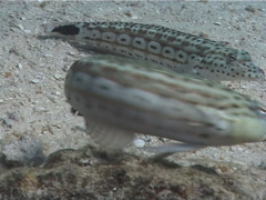 Speckled sandperch, Parapercis hexophtalma, UP7010 Stock Footage