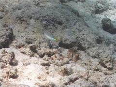 Blueband goby feeding on sand, Valenciennea strigata, UP7012 Stock Footage