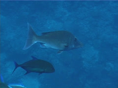 Fish | Emperors | Longface Emperor | Tracking Stock Footage
