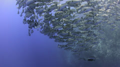 Seasonal gathering - large school of snapper fish 25fps Stock Footage