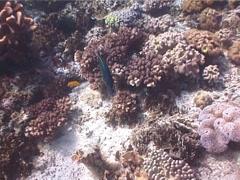 Bird wrasse swimming, Gomphosus varius, UP7082 Stock Footage