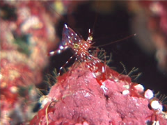 Jelly cleaner shrimp, Urocaridella antonbrunii, UP7099 Stock Footage
