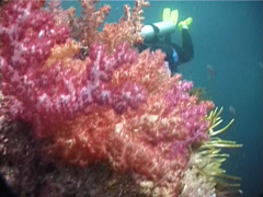 Variable soft coral taking images on shallow coral reef, Dendronephthya sp. Stock Footage