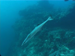 Suckerfish swimming, Echeneis naucrates, UP7116 Stock Footage