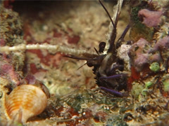 Juvenile Painted spiny lobster walking at night, Panulirus versicolor, UP7128 Stock Footage