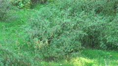 Lonesome Wolf in grassy landscape Stock Footage