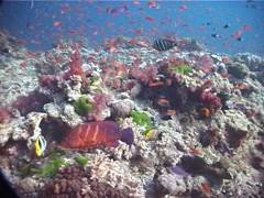 Coral cod swimming on shallow coral reef, Cephalopholis miniata, UP7147 Stock Footage