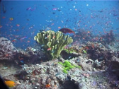 Stock Video Footage of Fish | Groupers | Coral Cod | Shallow Coral Reef | Hunting | Wide Shot