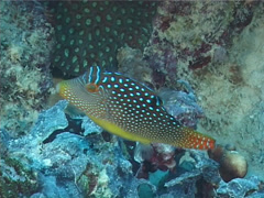 Bluespot toby swimming, Canthigaster solandri, UP7184 Stock Footage