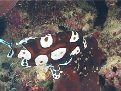 Juvenile Many spotted sweetlips swimming, Plectorhinchus chaetodonoides, UP7185 Stock Footage