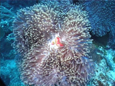 Stock Video Footage of Cnidarians | Anemones | Magnificent Sea Anemone | Medium Shot