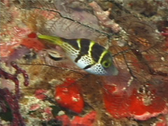 Fish | Filefish | Mimic Filefish | Hunting | Medium Shot Stock Footage