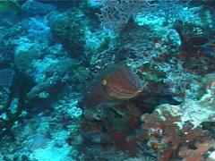 Broadclub cuttlefish swimming, Sepia latimanus, UP7215 Stock Footage