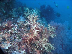 Variable soft coral, Dendronephthya sp. Video 7251. Stock Footage